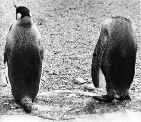 Kopfloser Pinguin mit Kollege