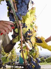 Erntezeit der Weintrauben
