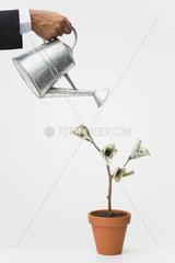 Businessman watering money tree  cropped