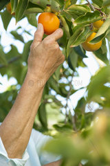 Senior woman picking persimmon from tree