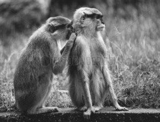 2 Affen lausen sich