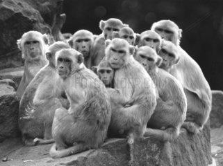 11 Rhesus-Affen