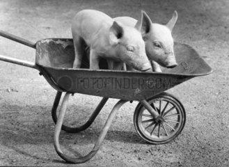 Schweine in Schubkarre