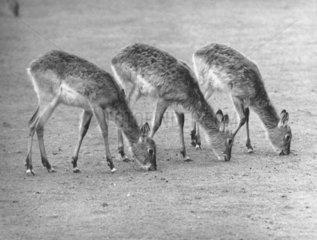 3 Moorantilopen