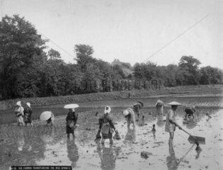 Bauern arbeiten auf Reisfeld