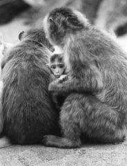 2 Rhesus-Affen mit Jungem