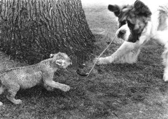 Hund spielt mit Raubkatzenbaby