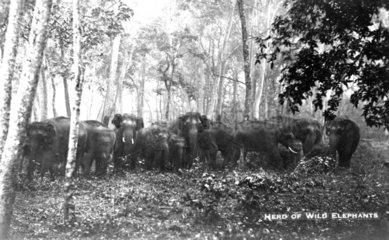 Herde wilde indische Elefanten