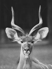 Antilope mit grossen Ohren