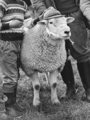 Schaf mit Hut