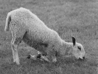 Schaf frisst auf Knien