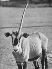 Spiessbock mit nur einem Horn