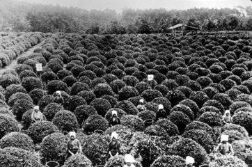 Frauen auf dem Feld waehrend der Erntezeit