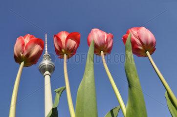 vier Tulpen und Fernsehturm