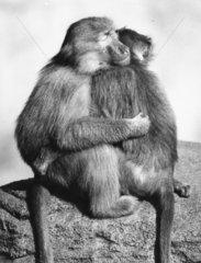 2 Paviane umarmen sich