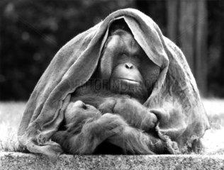 Orang Utan unter der Decke