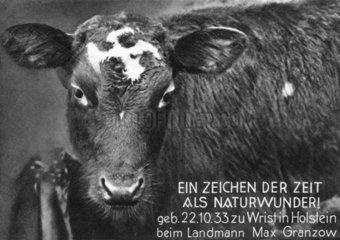 Kuh mit einem Hackenkreuz im Gesicht