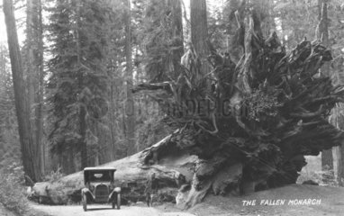 Mann und Auto neben riesiger Wurzel