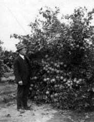 Mann bei Orangenbaum