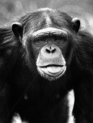 Schimpanse streckt Zunge raus