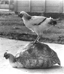 Huhn sitzt auf Huhn mit Panzer
