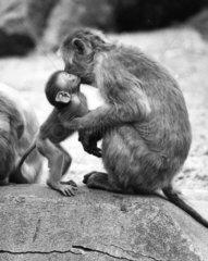 Rhesus-Affe wird von Jungem gekuesst