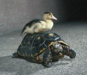 Ente sitzt auf Schildkroete