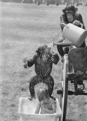 Schimapanse waschen ein Maedchen