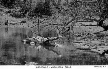 riesiges Krokodil in Sumpf