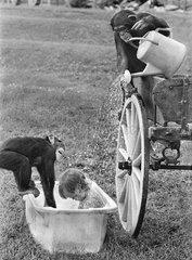 2 Schimpansen baden Kind