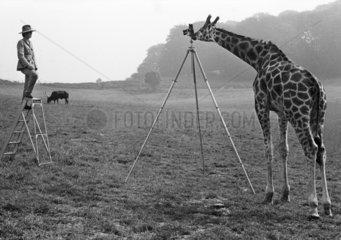Giraffe fotografiert Mann
