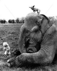 Elefant mit zwei Hunden