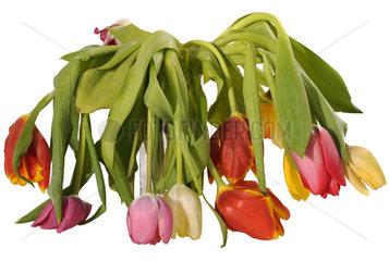 verwelkter Blumenstrauss  Tulpen