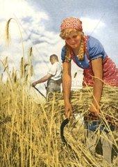 Frau bei der Ernte um 1940