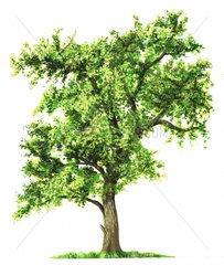Walnussbaum Serie Baeume