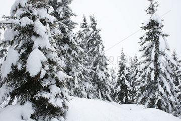 Snow-covered pine trees