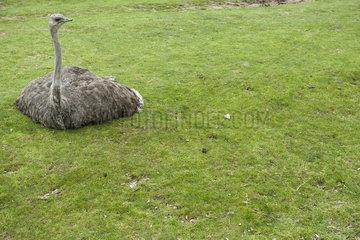 Ostrich sitting on grass