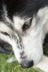 Siberian husky  cropped