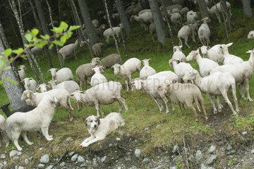 Herd of goats grazing in woods  herding dog in foreground