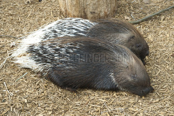 Porcupines resting side by side