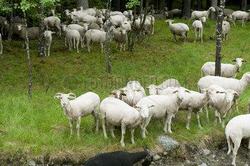 Herd of goats in grass