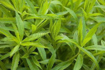 Lush plant foliage  full frame