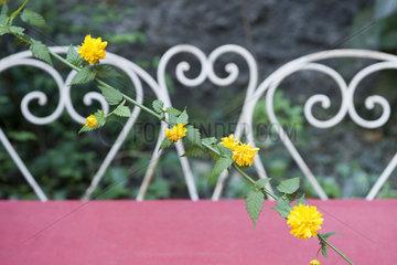 Yellow flowering vine