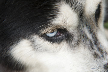 Siberian husky  extreme close-up