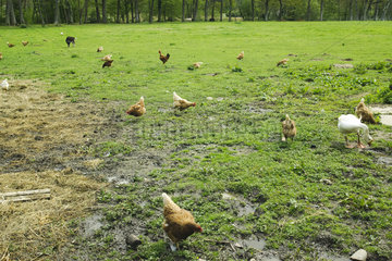 Hens  rooster  goose and goat feeding in a meadow