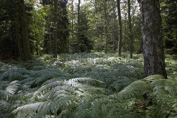 Ahrenshoop - Forest