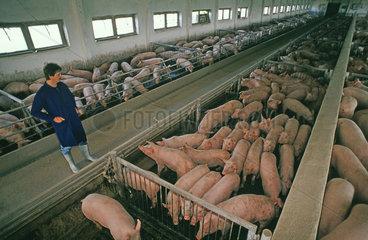 Schweinemast in der DDR