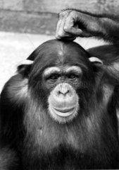Schimpanse klopft sich auf den Kopf