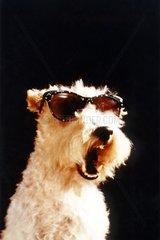 Hund mit Sonnenbrille gaehnt