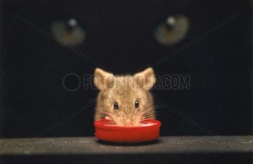Bedrohliche Katzeaugen ueber Maus